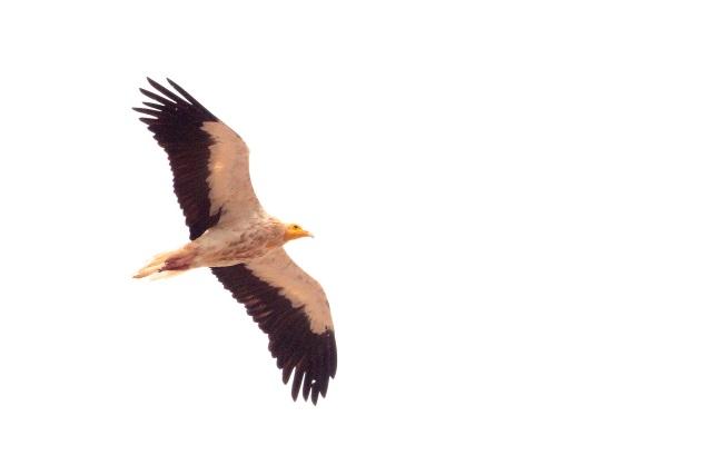 Egyptian Vulture in flight.