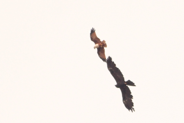 Black Eagle and Brahminy Kite acrobat