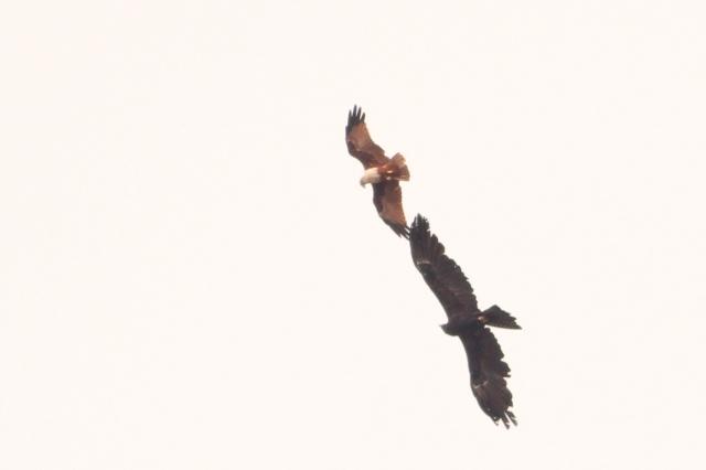 Black Eagle and Brahminy Kite acrobat