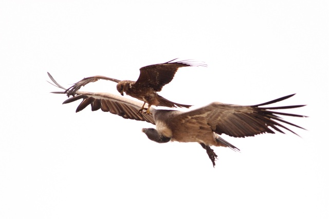 Indian Vulture and Black Kite