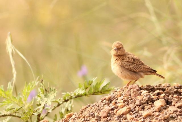 Ashy Crowned Sparrow Lark - Female