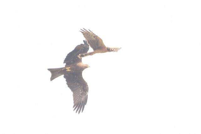 Black kite chase to Montagu's harrier