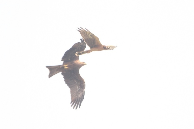 Black kite chase to Montagu's harrier