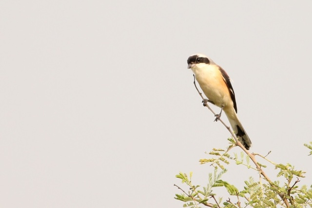 Shrike - Need to see to identify it :P.