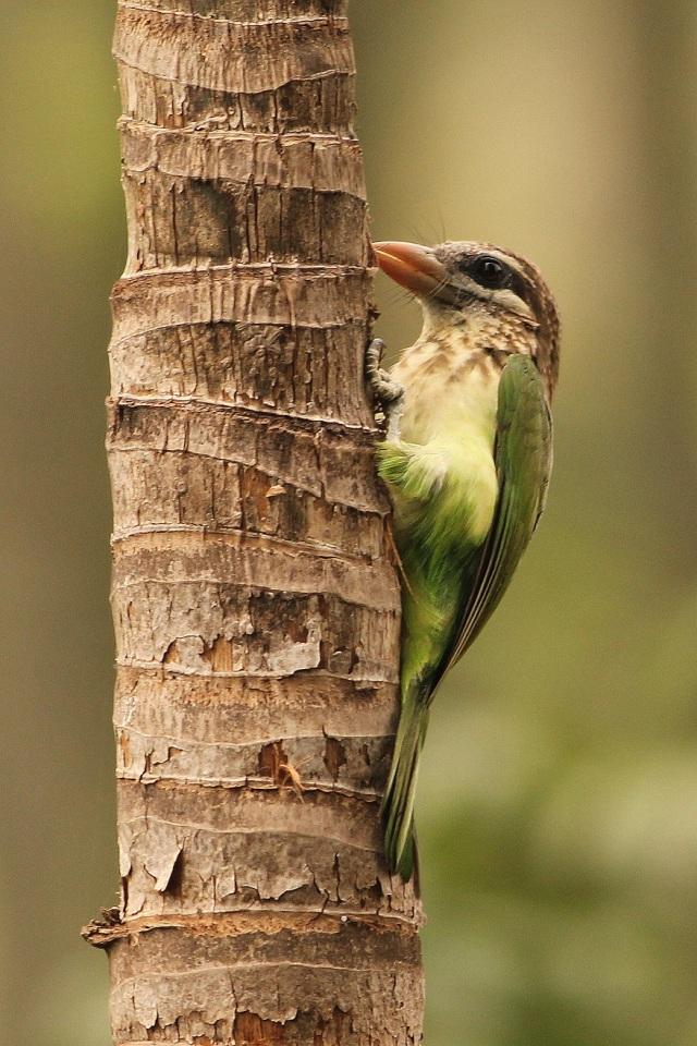 White cheeked Barbet - Making nest