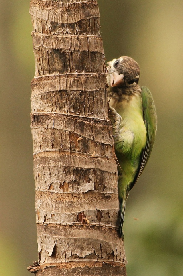 White cheeked Barbet - Making nest