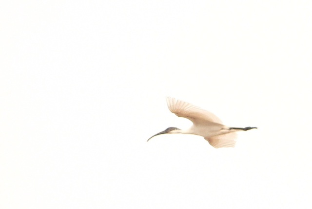 Oriental White IBIS