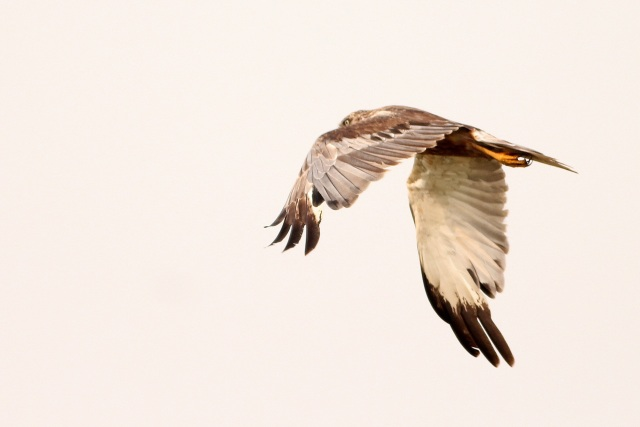 Marsh Harrier - Male
