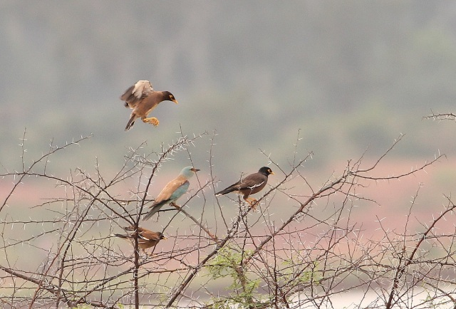 European Roller with set of Mynas