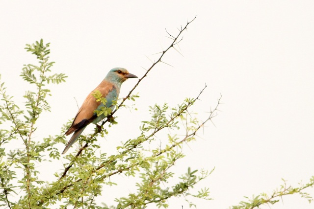 European Roller - Welcome to India.