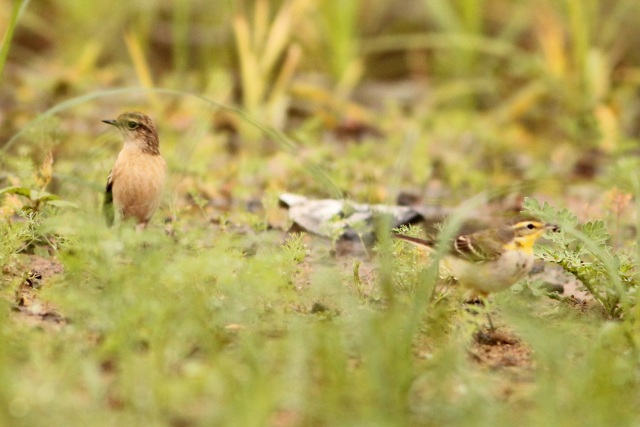 Siberian Stonechat with Grey Wagtail