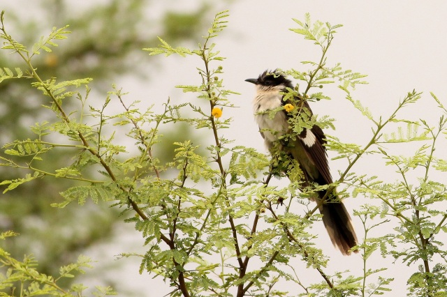 Jacobian Pied Cuckoo