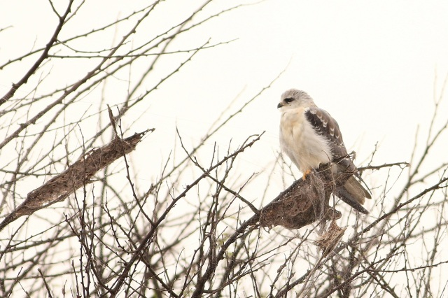 Black Shouldered Kite - juv