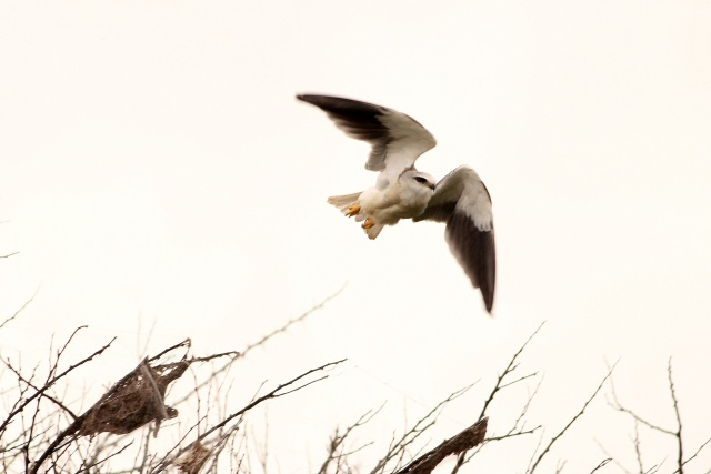 Black Shouldered Kite - juv in flight. I never like this shot as it gives a feeling that because of me it flew off