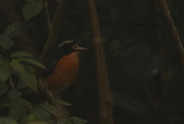 Indian Blue Robin