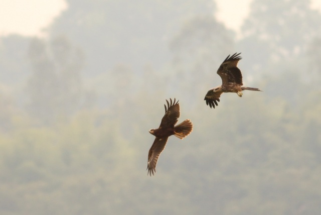 Black Kite chase to Marsh Harrier