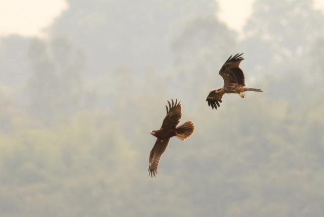 Black Kite chase to Marsh Harrier