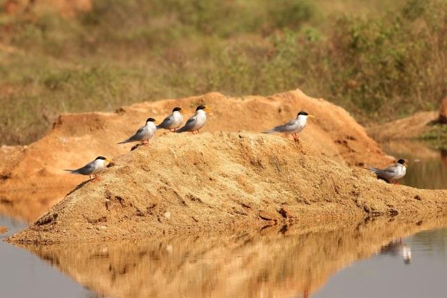 Family of River Tern