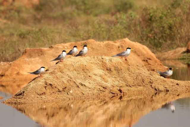 Family of River Tern