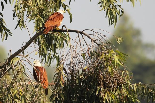 Two Brahminy Kites