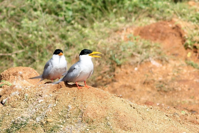 Two river terns away from the group