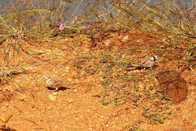 Ashy Crowned SparrowLark - Pair