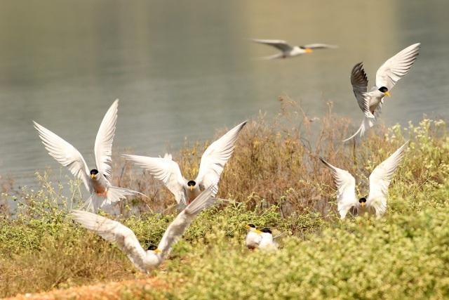 River tern settling down