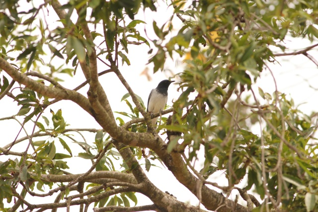 Black Headed Cuckooshrike Male