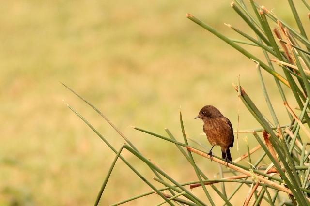 Bushchat - Female