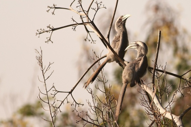 Pair of Grey Hornbill