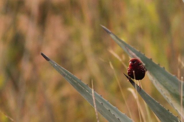Red Munia