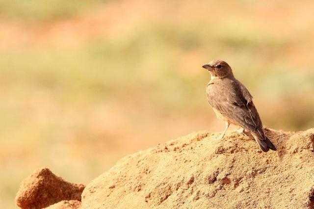 Rufous tailed lark