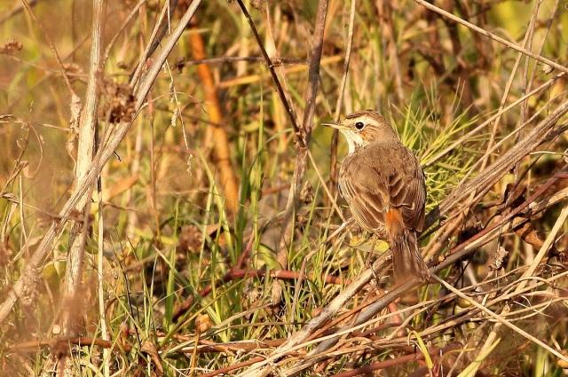 Bluethroat - Female (2)
