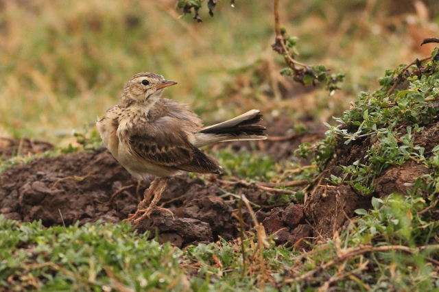 Paddyfield Pipit - Bathing