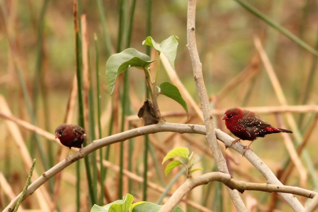 Red Munia - Male