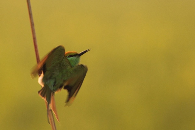 Small Green BeeEater