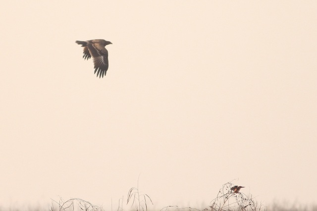 Tawny Eagle and White throated Kingfisher