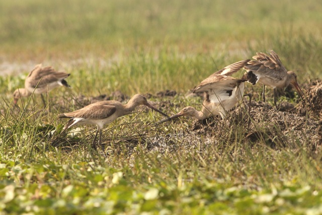 Godwit fight for food