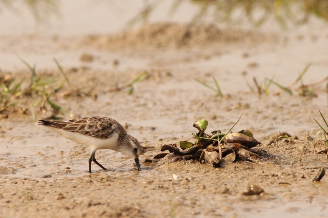 Kentish Plover - Juv