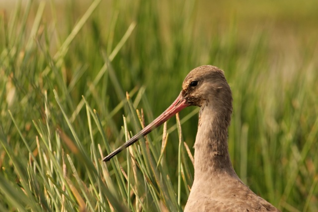 Black winged Godwit