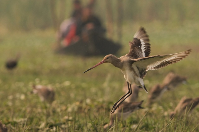 Black winged Godwit - Fligt