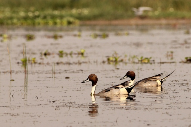 Northern Pintail - Male group