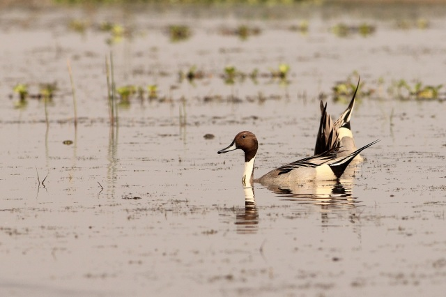 "Northern Pintail - Why it is called ""Pin"" tail"