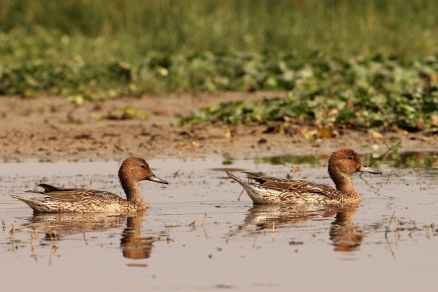Northern Pintail - Female Gang