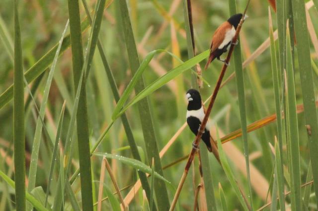 Tricoloured Munia (also called Black Headed Munia)