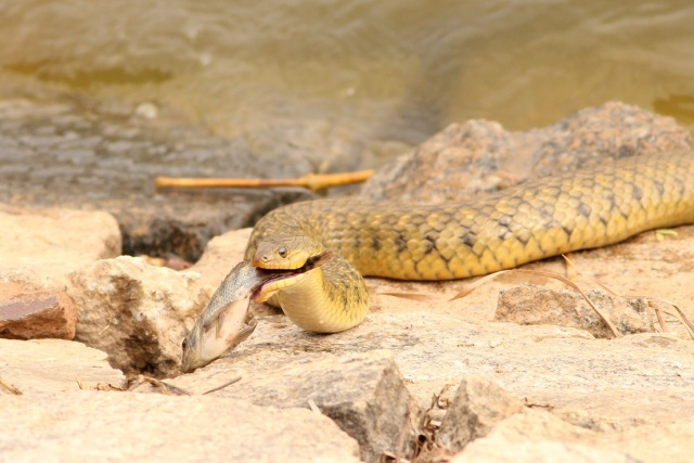 Checkered keelback water snake with a Kill at Lalbagh