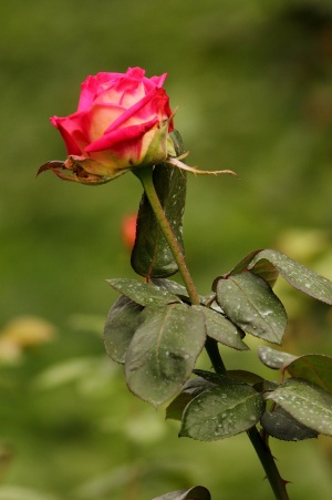 Red Rose in Lalbagh