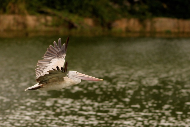 A Spot-billed Pelican flying