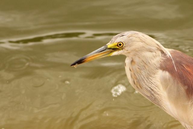 Pond Heron with a kill