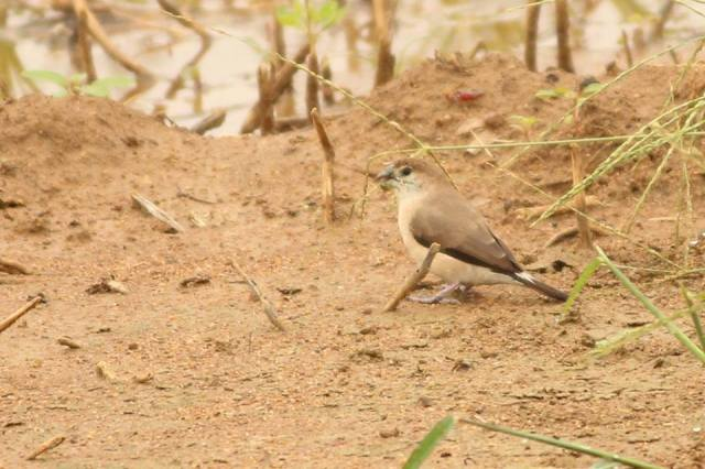 Indian Silverbill or White-Throated Munia